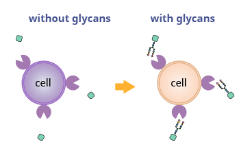 eyecatch image of Why Glycans?