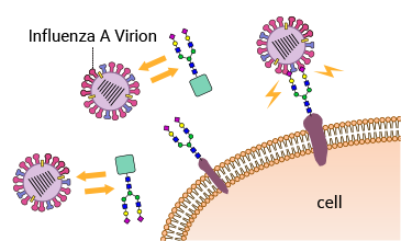 Diagram showing glycans preventing viruses infecting a cell