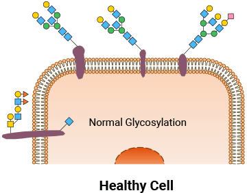 Representation of healthy cell with normal glycosylation.
