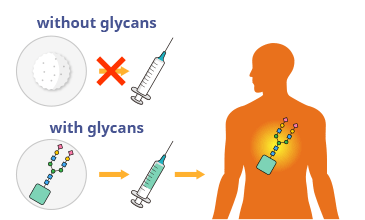 Diagram showing drug delivery improved with glycans