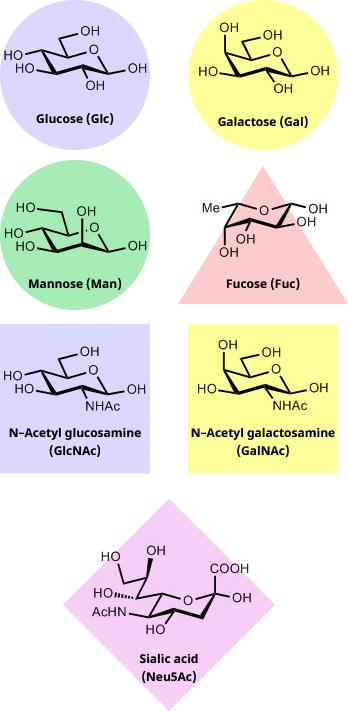 Sugar units commonly found in glycans: Glucose (Glc), Galactose (Gal), Mannose (Man), Fucose (Fuc), N-Acetyl glucosamine (GlcNAc), N-Acetyl galactosamine (GalNAc), Sialic acid (Neu5Ac)