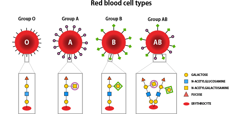 Diagram illustrating differences in red blood cell glycans between different blood groups