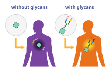 Diagram showing glycans reducing drug side effects