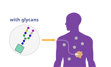 Diagram showing glycans targeting affected area