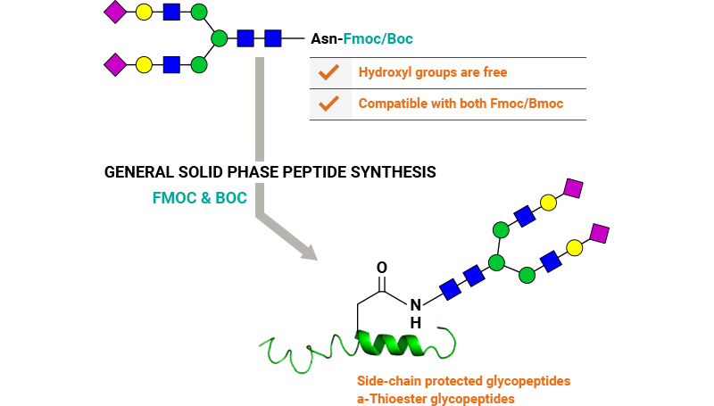 Features of glycan conjugation to Asn-peptides using solid phase peptide synthesis.